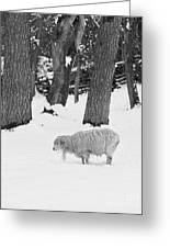 Sheep In Winter Greeting Card