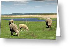 Sheep On Pasture Nature Farm Scene Greeting Card