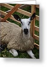 Sheep Two Greeting Card