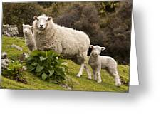 Sheep With Twin Lambs Stony Bay Greeting Card by Colin Monteath