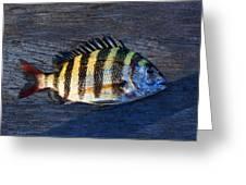 Sheepshead Fish Greeting Card