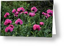 Shell Shaped Poppies Greeting Card