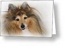 Sheltie Dog - A Sweet-natured Smart Pet Greeting Card