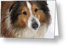 Sheltie In The Snow Greeting Card