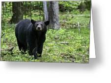 Shenandoah Black Bear Greeting Card