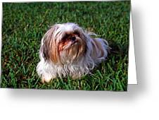 Shitzu Dog Greeting Card