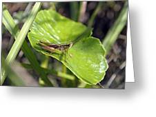 Short Winged Green Grasshopper Greeting Card