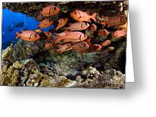 Shoulderbar Soldierfish Greeting Card by Dave Fleetham - Printscapes