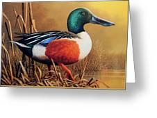 Shoveler Drake Greeting Card