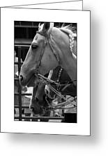 Show Horses Greeting Card