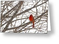 Showing His Colours - Northern Cardinal - Cardinalis Cardinalis Greeting Card
