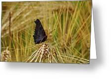 Showing The Dark Side. European Peacock On Barley Greeting Card