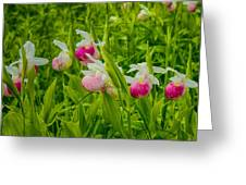 Showy Lady's Slipper Orchids Greeting Card