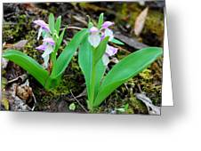 Showy Orchis Greeting Card