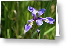 Shreve's Iris Greeting Card