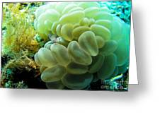Shrimp On Soft Coral Greeting Card