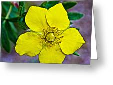 Shrubby Cinquefoil On Iron Creek Trail In Sawtooth National Wilderness Area-idaho  Greeting Card