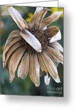 Shy Black-eyed Susan Greeting Card