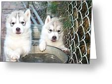 Siberian Husky Puppies Greeting Card