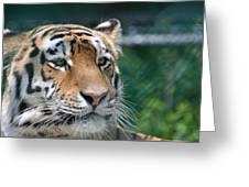Siberian Tiger 2 Greeting Card