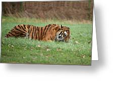 Siberian Tiger Checking Scent Greeting Card