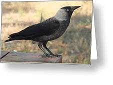 Side View Of A Wild Jackdaw Greeting Card
