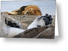 Siesta Time For Lions In Africa Greeting Card