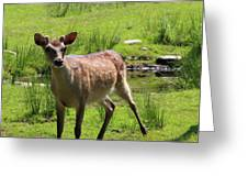 Sika Deer Water Hole Omagh Greeting Card