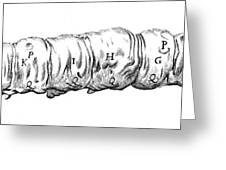 Silkworm, Malpighi, 1686 Greeting Card