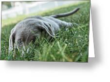 Silver Labrador Retriever  Greeting Card