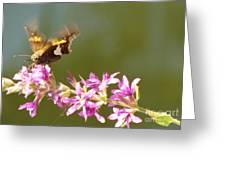 Silver Spotted Skipper Landing On Blooms                 August               Indiana Greeting Card