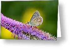 Silver-studded Blue Butterfly Greeting Card