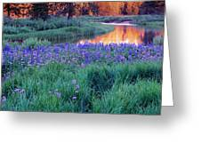 Silvery Lupine Greeting Card