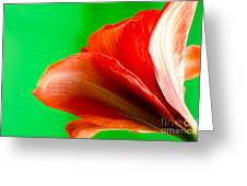 Simply Amaryllis Red Amaryllis Flower On A Green Background Greeting Card