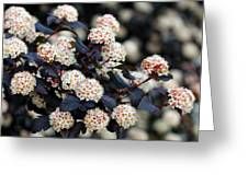 Summer Wine Ninebark Blossom Greeting Card