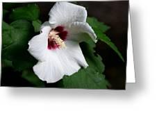 Single Rose Sharon Flower Greeting Card