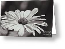 Single Daisy Bw Greeting Card