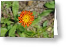 Single Orange Wild Flower Greeting Card