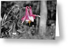 Single Pink Columbine Greeting Card