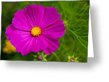 Single Purple Cosmos Flower Greeting Card