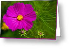 Single Purple Cosmos Flower Greeting Card