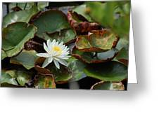 Single Water Lilly  Greeting Card