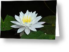 Single While Water Lily On Black Background Greeting Card