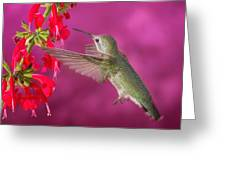 Sipping At The Salvia Greeting Card