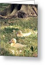 Sitting Ducks Greeting Card