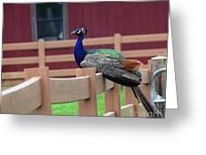 Sitting Peacock Greeting Card