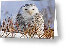 Sitting Snowy Owl Greeting Card