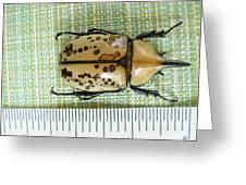 Size Of Hercules Beetle Greeting Card