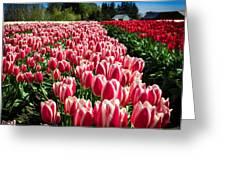 Skagit County Tulip Festival Greeting Card