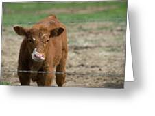 Skeptical Calf Barbed Wire Greeting Card